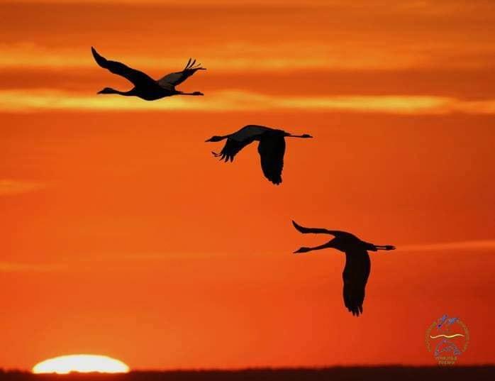 Журавли прилетели: в Одесской области заметили краснокнижных птиц «фото»