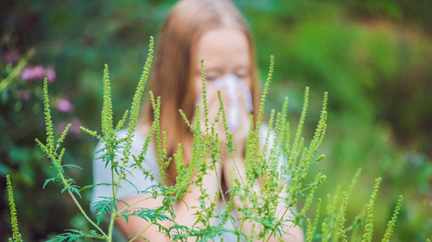 Главный аллерген: что такое амброзия и как спасаться аллергикам «фото»