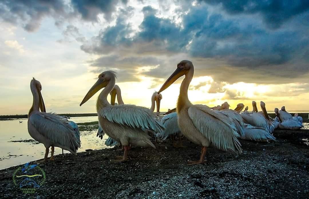 В Тузловской Амазонии заметили десятки розовых пеликанов «фото»