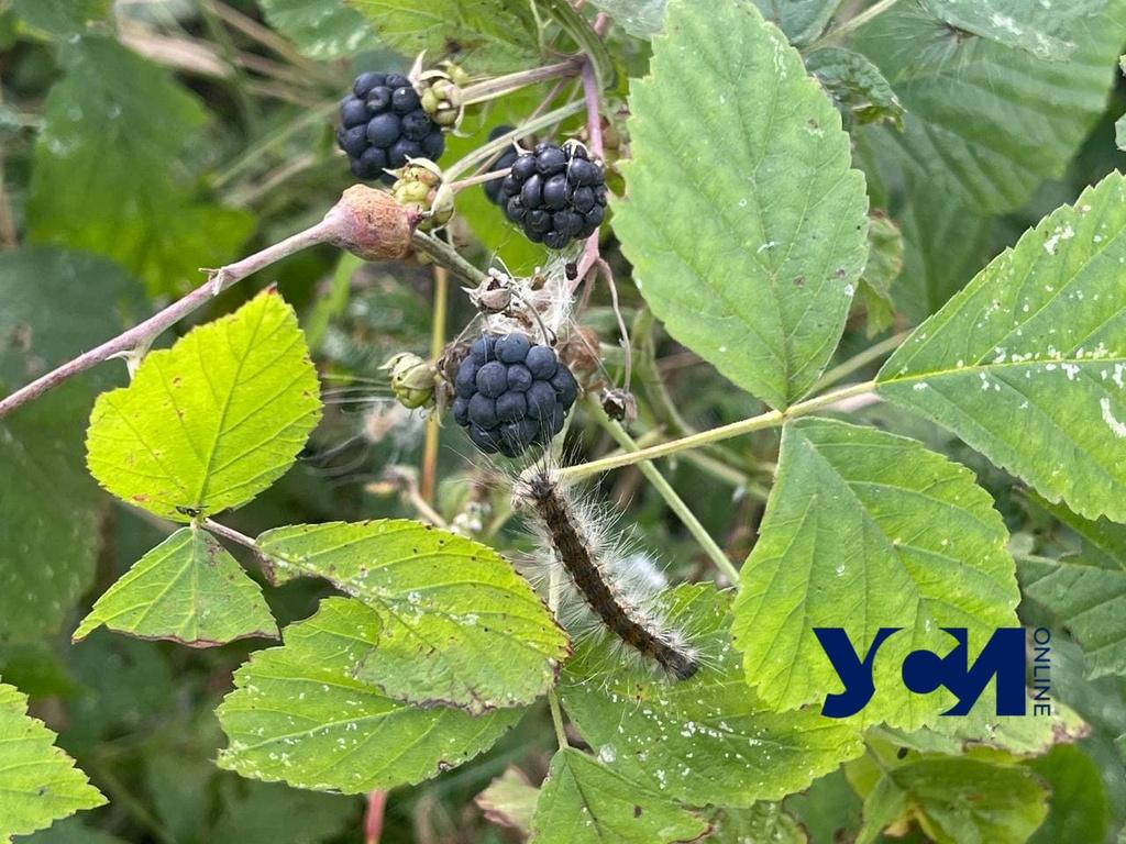 Нашествие гусениц в Одесской области: когда оно закончится (фото, видео) «фото»