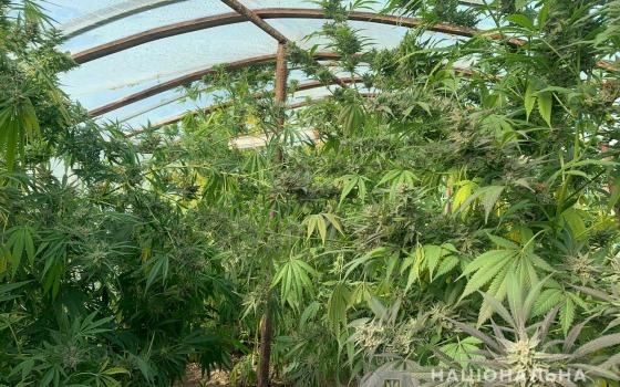 Выращивал больше 100 кустов конопли: полицейские задержали жителя Болградского района (фото, видео) «фото»