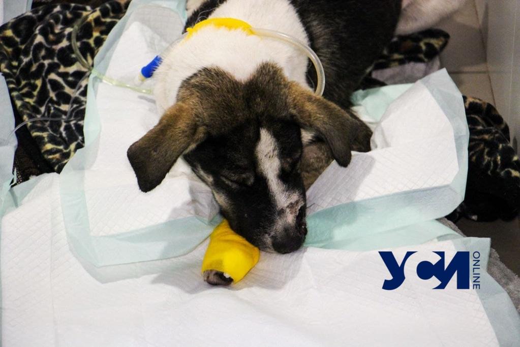 Одесские ветеринары стабилизировали состояние раненной собаки (фото, аудио) «фото»